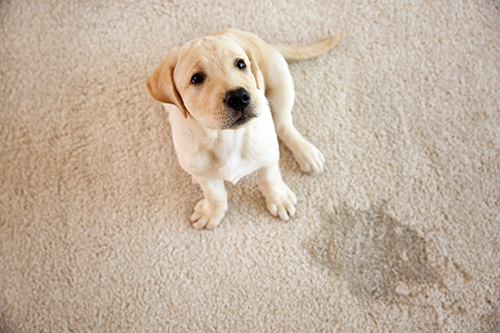 carpet pet stain removal ellicott city md
